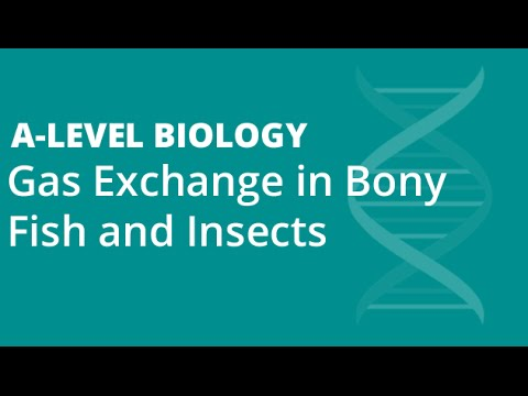 Gas Exchange In Bony Fish And Insects | A-level Biology | OCR, AQA, EDEXCEL