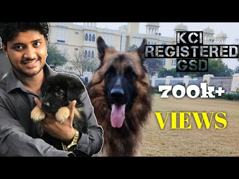 KCI registered Double coat Gsd 60000/- pair