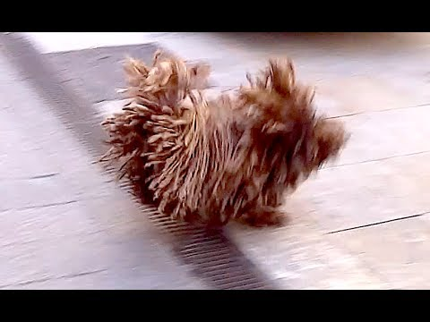 Cutest Dog with Dreadlocks Doing Flips - Puli