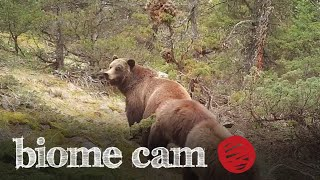 Grizzly Bears Camera Trap Footage   Biome Cam
