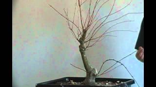 Bonsai styling japanese maple coral bark  pt 3