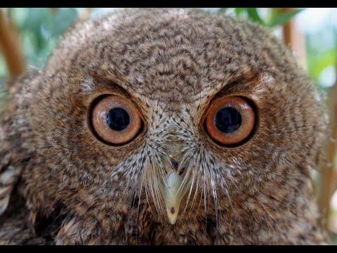Múcaro (Megascops nudipes) - Puerto Rican Screech-Owl