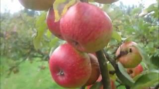 Gambar cover Heritage apple varieties