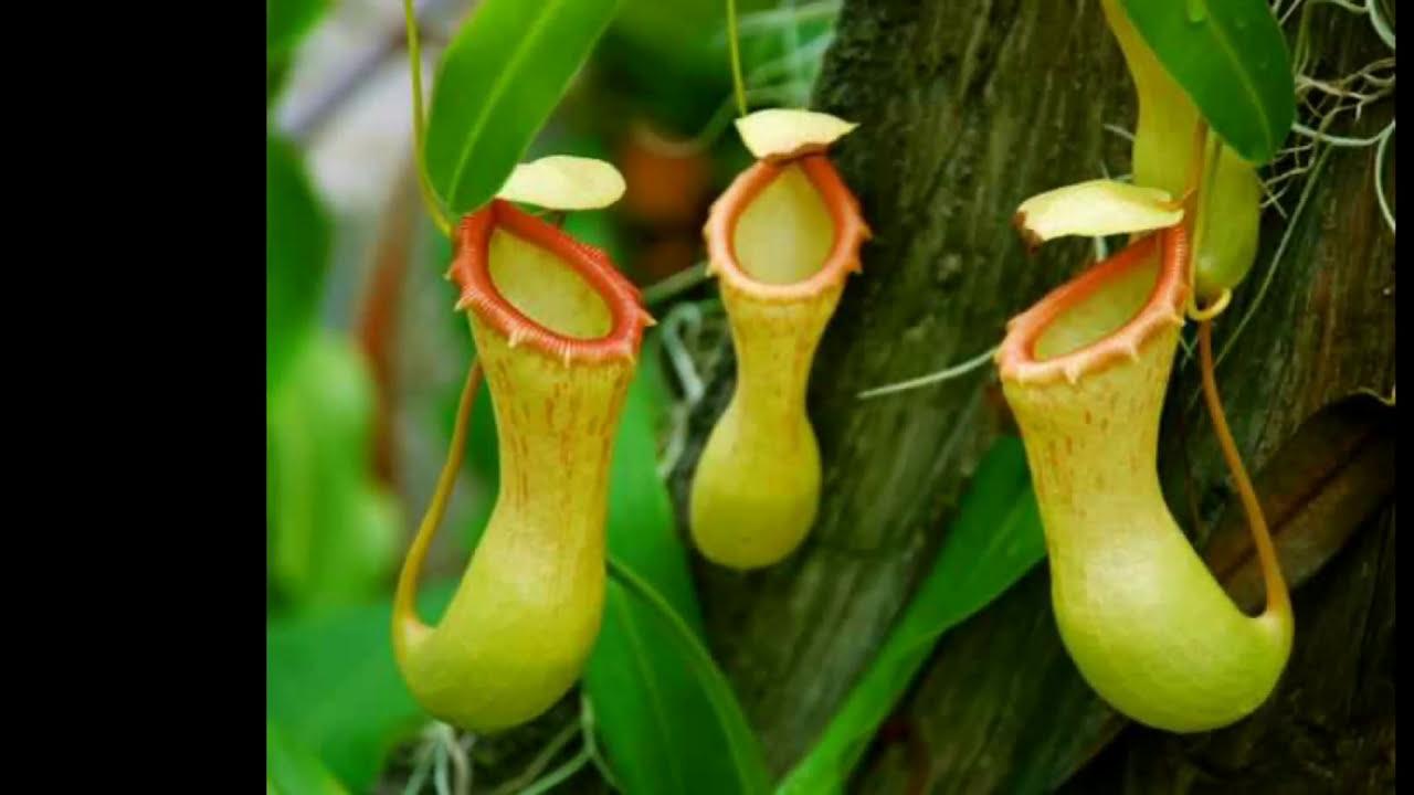 Las 5 plantas carn voras m s hermosas del mundo youtube for Las plantas mas bonitas