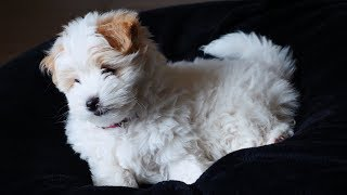 Virtual Reality VR180 cute puppy molly Coton de Tulear 10 weeks old