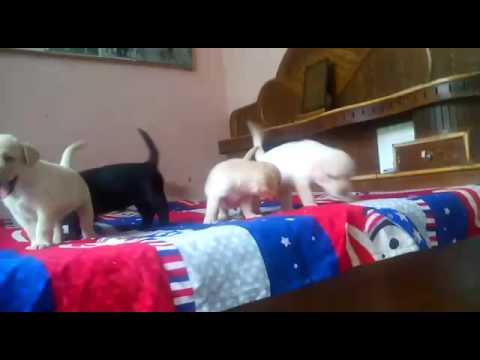 Pure lab labra Labrador 9999039993 puppies for sale in delhi ghaziabad noida hapur gurgaon faridabad