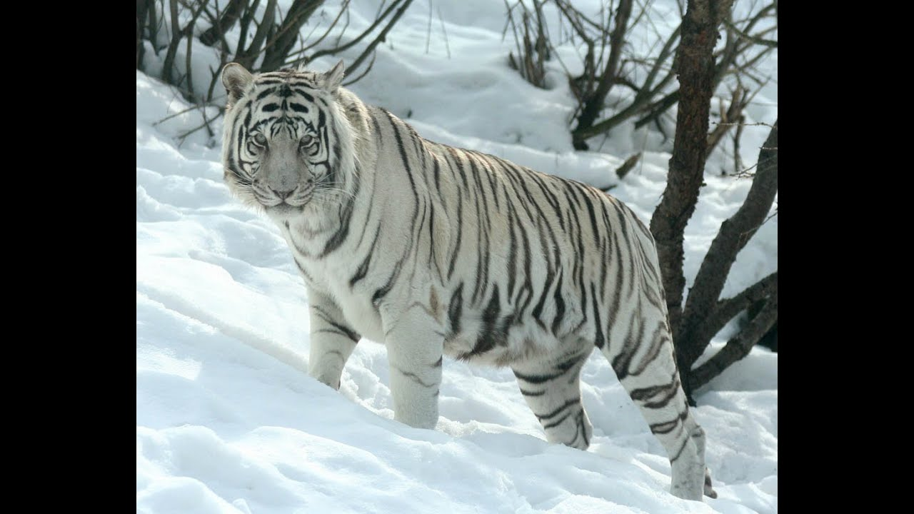 Image result for siberian white tiger