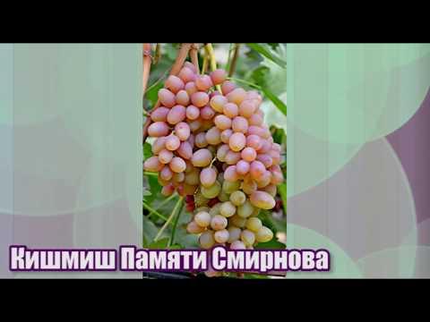 Кишмиш Памяти Смирнова (Ассоль) - сверхурожайный и устойчивый