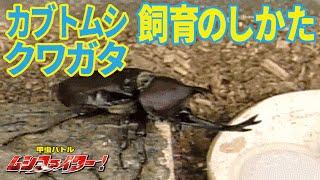 【公式】カブトムシとクワガタムシの飼育しかた【甲虫バトル ムシファイター!】#22