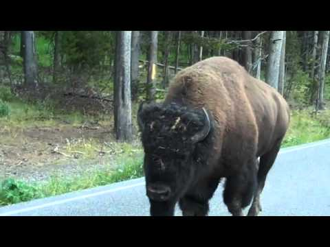 Yellowstone Bison Walking Down The Middle Of The Road