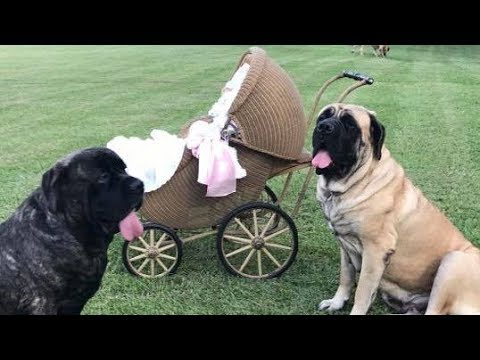 English Mastiff & Babies ⭐ Protecting Babies & Kids Compilation ⭐