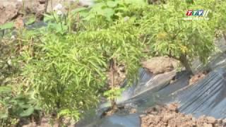 TRỒNG CÂY ĐINH LĂNG LÁ NHỎ dưới tán rừng trồng
