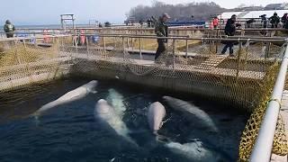 Белухи и косатки в Центре адаптации морских животных в Средней бухте в Приморском крае