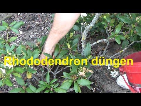 Rhododendron düngen wann wie oft und womit