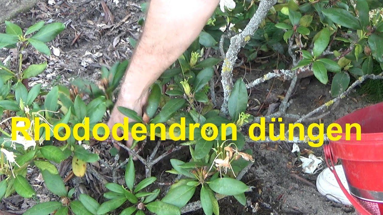 Rhododendron Düngen Wann Wie Oft Und Womit Youtube