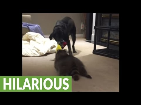 Dog challenges pet raccoon to tug-of-war match