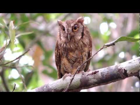 Tropical Screech Owl - Megascops choliba - Colombian Screech owl