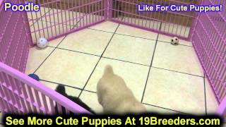 Standard Poodle, Puppies, For, Sale, In, Indianapolis, Indiana, In, Valparaiso, Goshen, Westfield, M