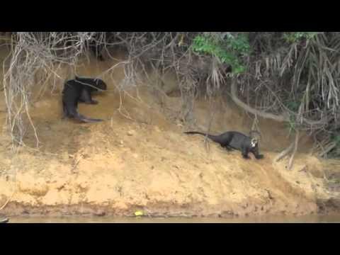 Giant river otters leave den