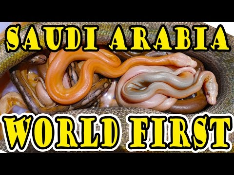 Saudi Arabian WORLD'S FIRST Pythons