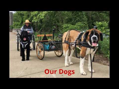 Training a Black Russian Terrier as a Draft Dog