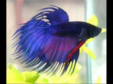 Taking Care Of Your Own Betta Fish Youtube