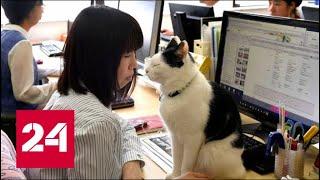 Японская компания разрешила сотрудникам приходить на работу с кошкой - Россия 24
