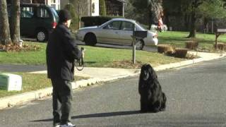 Long Island  Dog Training  N.y. Newfoundland Being Trained In Obedience Training Off Leash