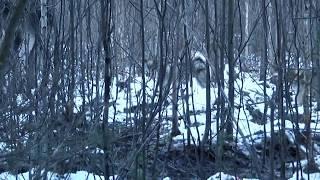 Охота на лося с лайкой западно сибирской в Удмуртии