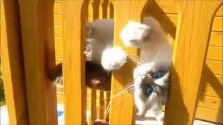 Елизавета, кошка породы