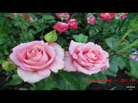 Розы в саду у Наташи Костиной. Цветы в саду. Красивые фото.mp4
