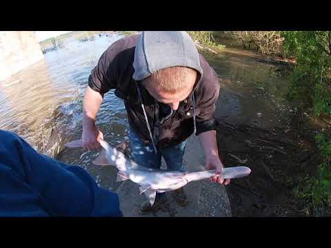 Prehistoric Paddlefish Caught Off Ohio River