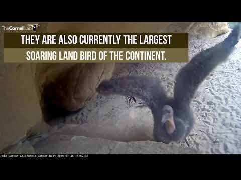 The Endangered And Magnificent California Condor — July 25, 2019