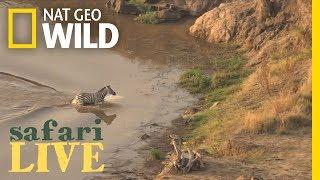 Epic Video: Zebra Narrowly Escapes Crocodile, Runs Into Lions   Nat Geo Wild