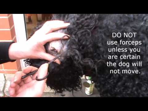 How to remove hair from a dogs ears featuring a Barbet dog