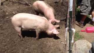 Pig harvest on painless farms