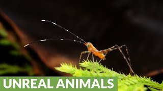 Colorful Ecuadorian grasshopper in Amazon rainforest