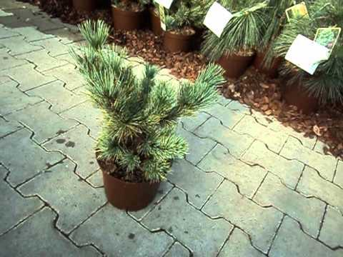 Pinus pumila Glauca Blaue Kriechkiefer