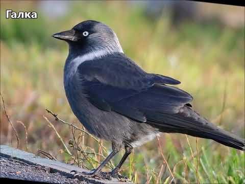 Городские птицы, пение, звуки + видео Развивающее видео