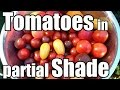 Pushing the Limits of Tomato Production in a Shaded Garden