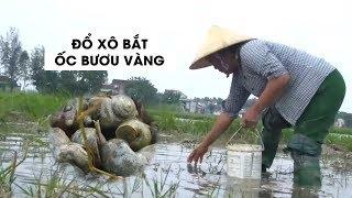 Nông dân Hà Tĩnh đổ xô đi bắt ốc bươu vàng