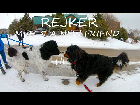 Bernese Mountain Dog Loves The Snow and Meeting Other Dogs   4K