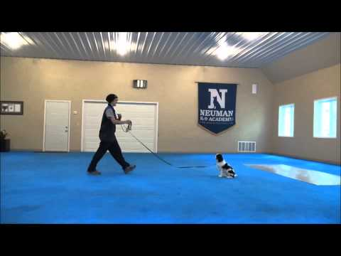 Teddy (Cavalier King Charles Spaniel) Boot Camp Dog Training
