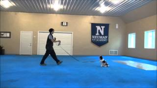 Teddy (cavalier King Charles Spaniel) Boot Camp Dog Training