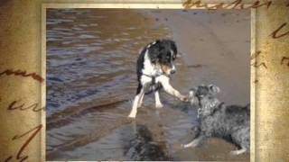 Puppy Schnauzer And Collie, Yoko And Marley Pictures