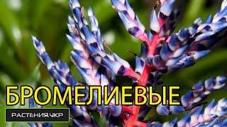 видео Бромелиевые - Советы по уходу