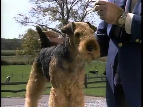 Welsh Terrier - AKC Dog Breed Series