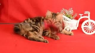 Курильский бобтейл котенок Зейна