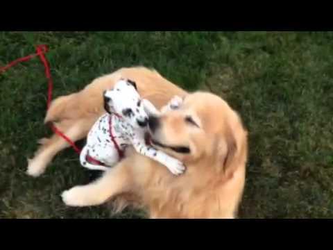 Dalmatian Pupply Crawling All Over Golden Retriever Youtube