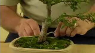 How to Grow Bonsai Trees : How to Care for your Bonsai Tree : Bonsai Maintenance